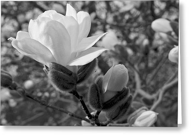Peychich Greeting Cards - Magnolias in Spring Greeting Card by Michael Peychich