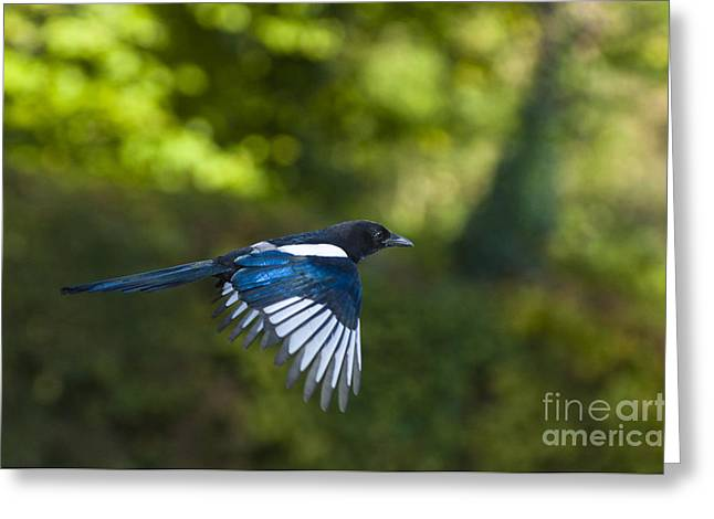Magpie Greeting Card by Andrew  Michael