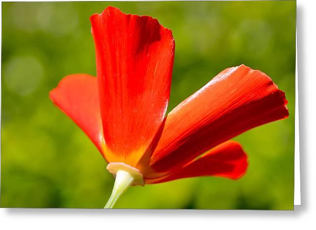 Mahogany Greeting Cards - Mahogany California Poppy IV Greeting Card by Heidi Smith