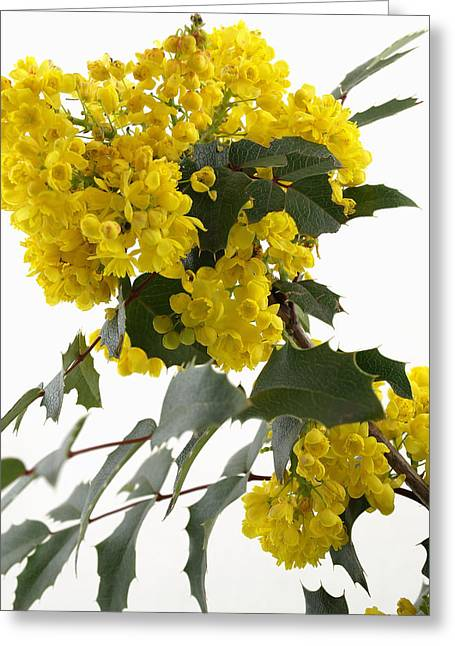 Blossom Greeting Cards - Mahonia Blossom Greeting Card by Robert Gebbie