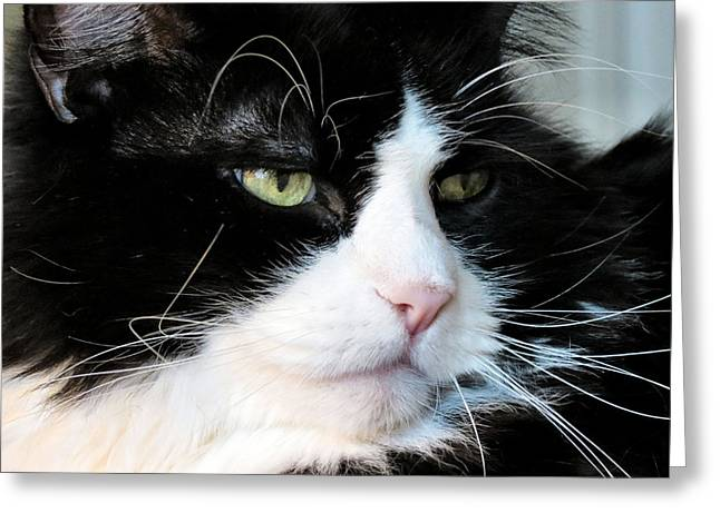 Maine Coon Face Greeting Card by Art Dingo
