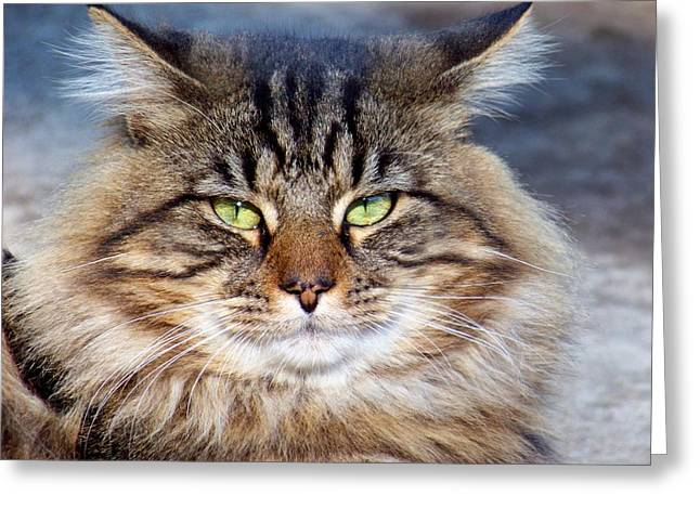 Maine Coon Greeting Cards - Maine Coon I Greeting Card by Jai Johnson