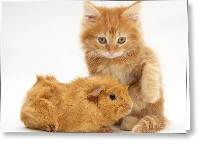 Cavy Greeting Cards - Maine Coon Kitten And Guinea Pig Greeting Card by Jane Burton