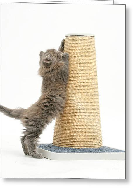 Cats Show Greeting Cards - Maine Coon Kitten Using Scratch Post Greeting Card by Mark Taylor