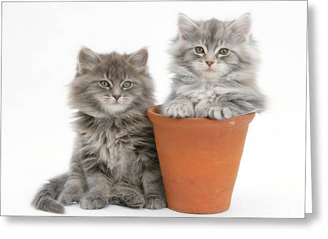 Domesticated Flower Greeting Cards - Maine Coon Kitttens Greeting Card by Mark Taylor