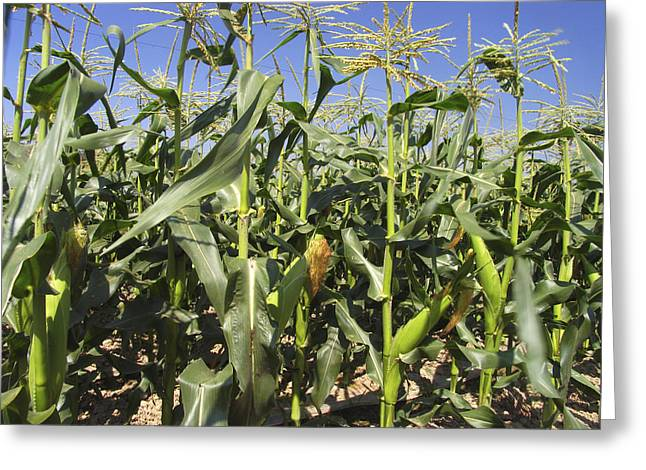 Maize (zea Mays) Greeting Card by Bjorn Svensson