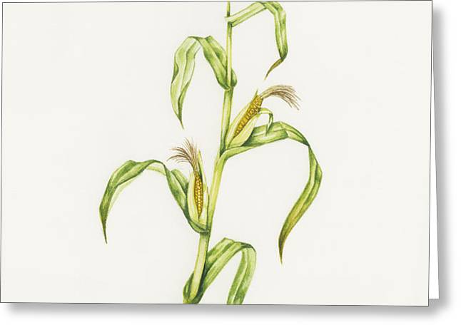 Maize (zea Mays) Greeting Card by Lizzie Harper