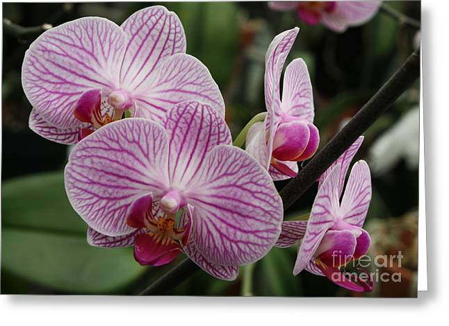 Phalaenopsis Orchid Greeting Cards - Majestic Orchids Greeting Card by Carol Groenen