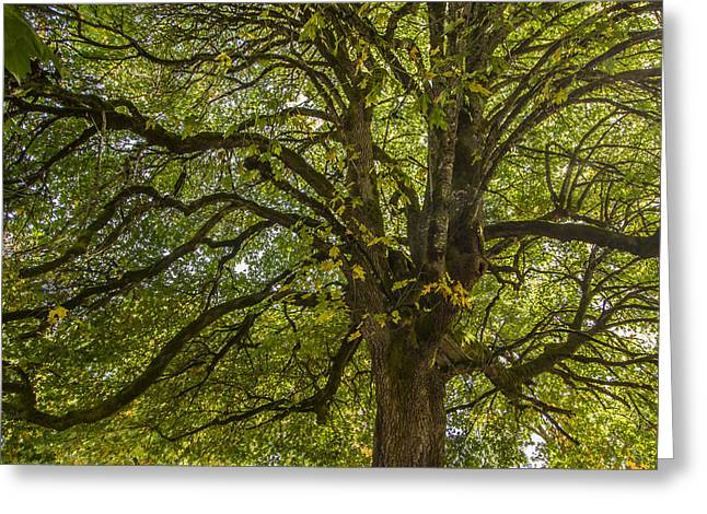 Jean Noren Greeting Cards - Majestic Tree Greeting Card by Jean Noren