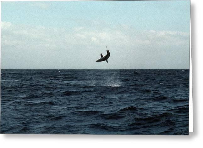 Mako Greeting Cards - Mako Shark On A Fishing Line Greeting Card by Georgette Douwma