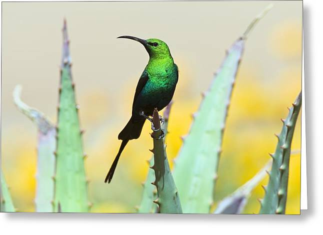 Sunbird Greeting Cards - Malachite Sunbird Male Greeting Card by Peter Chadwick