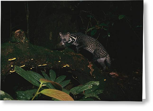Remote Cameras And Remote Camera Traps Greeting Cards - Malay Civet Or Tangalung Climbing Greeting Card by Tim Laman
