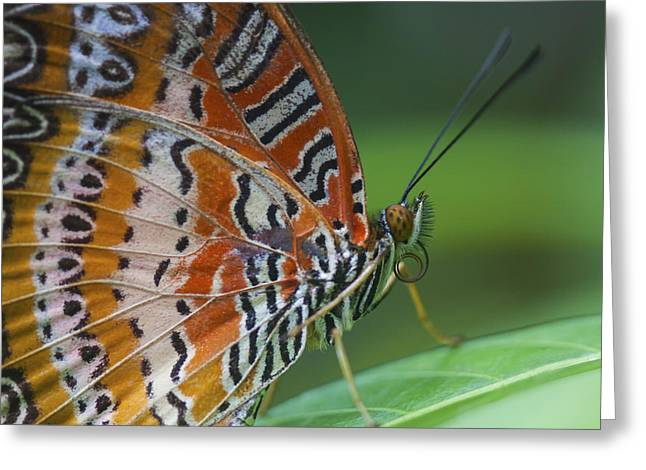 Invertebrates Greeting Cards - Malay Lacewing Butterfly Greeting Card by Zoe Ferrie