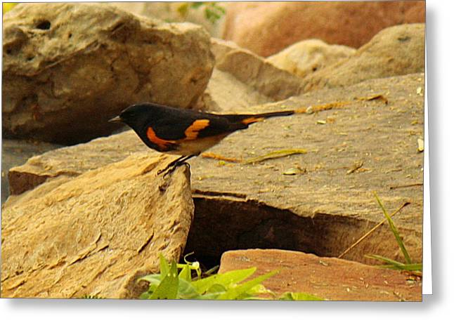 Wildlife Genre Greeting Cards - Male American Redstart On The Rocks Greeting Card by Roena King