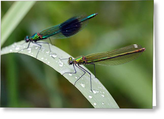 Damsel Fly Greeting Cards - Male and Female Damsel fly Greeting Card by Pierre Leclerc Photography