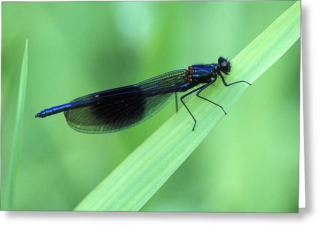 Demoiselles Greeting Cards - Male Banded Damselfly Greeting Card by Dr Keith Wheeler
