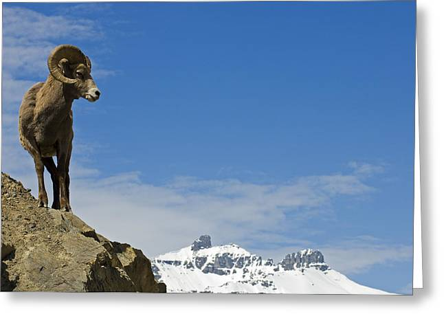 Rocky Mountain Sheep Greeting Cards - Male Bighorn Sheep On A Mountainside Greeting Card by Mike Grandmailson