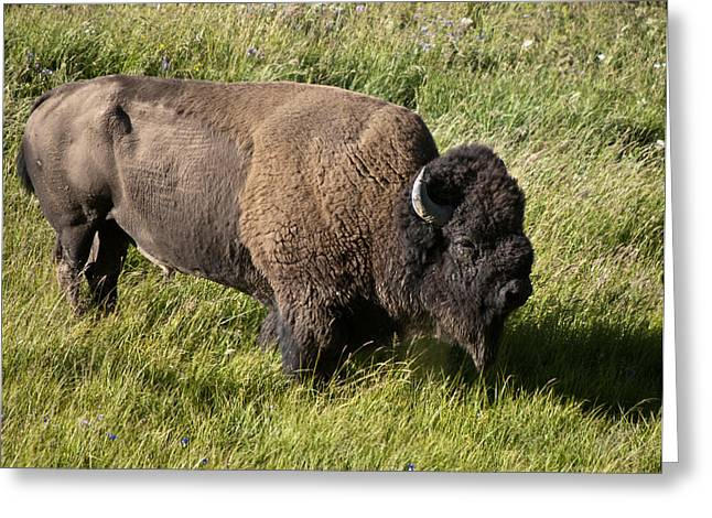 Male Bison Grazing  Greeting Card by Paul Cannon