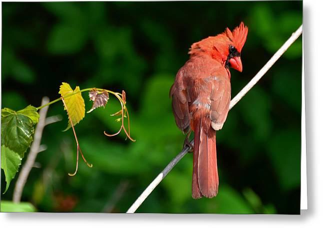 Male Cardinal  - 51005559c Greeting Card by Paul Lyndon Phillips