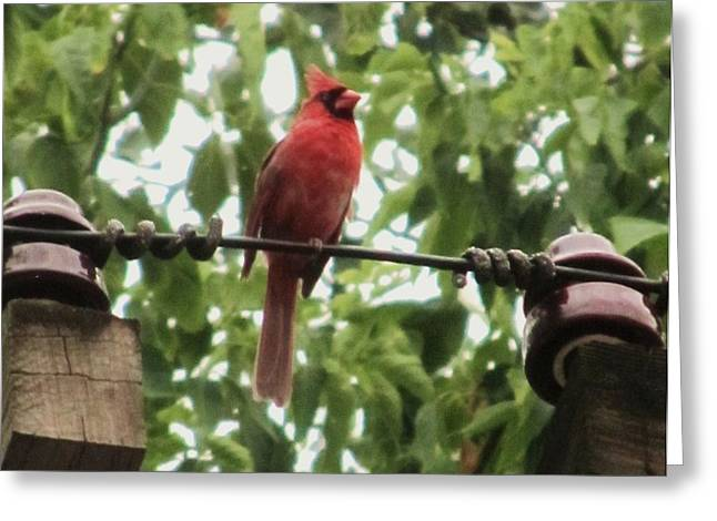 Male Cardinal One Greeting Card by TODD SHERLOCK