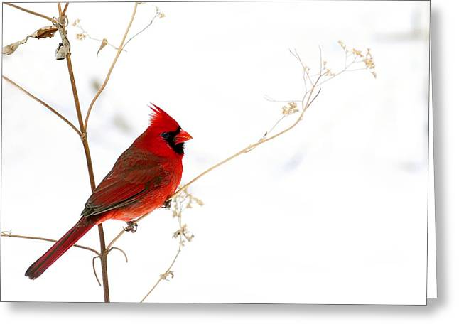 Randall Branham Greeting Cards - Male Cardinal Posing in the Snow Greeting Card by Randall Branham