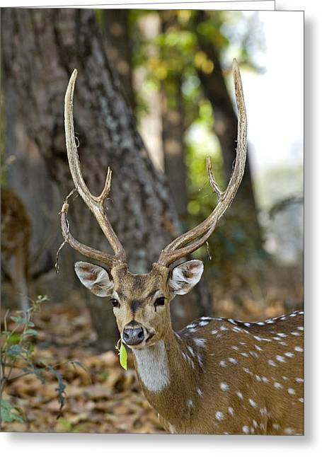Axis Greeting Cards - Male Chital Deer Greeting Card by Tony Camacho