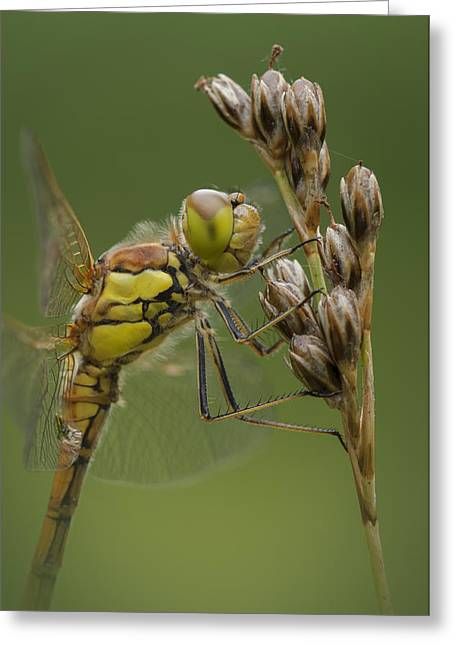 Evolved Greeting Cards - Male Common Darter Greeting Card by Andy Astbury