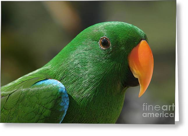 Parrot Art Print Greeting Cards - Male Eclectus Parrot Greeting Card by Sharon Mau