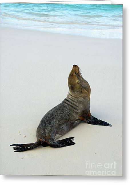 Domination Greeting Cards - Male Galapagos Sea lion standing on beach Greeting Card by Sami Sarkis