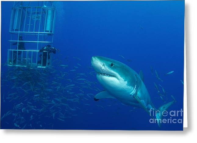 Guadalupe Island Greeting Cards - Male Great White Shark And Divers Greeting Card by Todd Winner