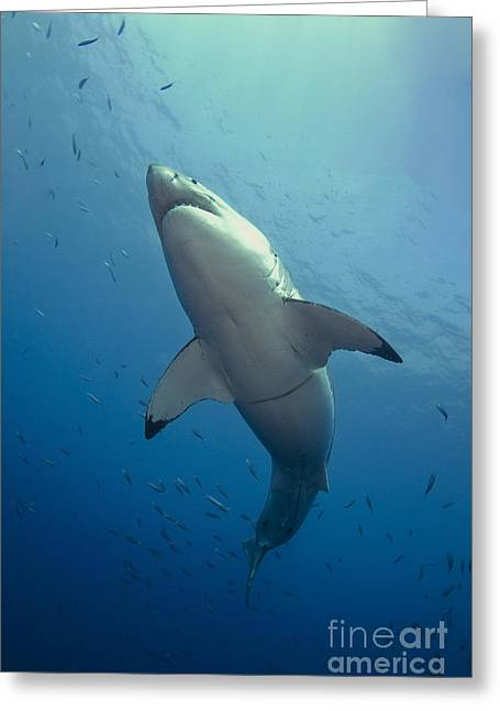 Guadalupe Island Greeting Cards - Male Great White Sharks Belly Greeting Card by Todd Winner