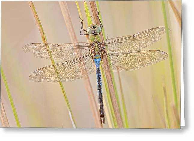 Green Darner Dragonflies Greeting Cards - Male Green Darner Dragonfly Greeting Card by Bonnie Barry