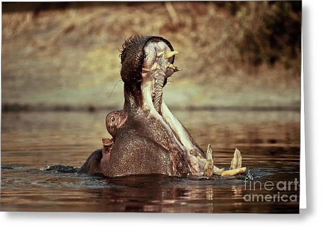 Aquatic Display Greeting Cards - Male Hippo Threat Display Greeting Card by Greg Dimijian