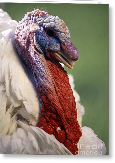 Meleagris Gallopavo Greeting Cards - Male Large White Turkey Greeting Card by Science Source