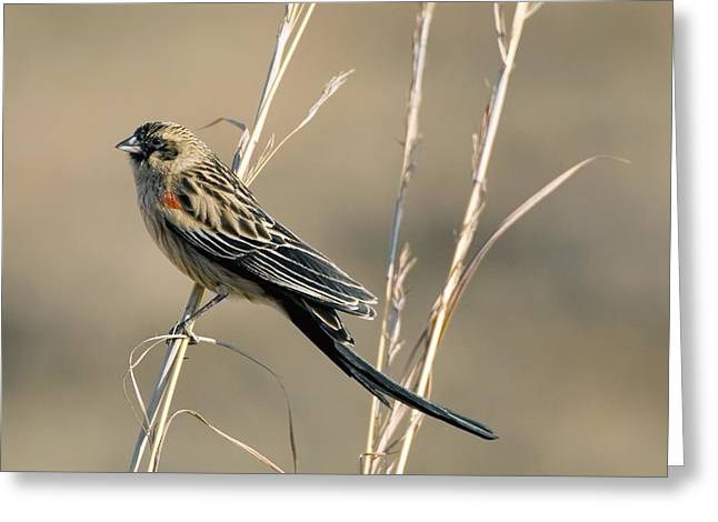Long Tail Greeting Cards - Male Long-tailed Widow Bird Greeting Card by Peter Chadwick