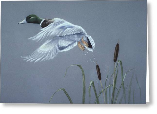 Country Cottage Pastels Greeting Cards - Male Mallard duck in flight Greeting Card by Patricia Ivy