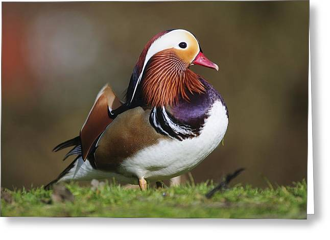 Coloured Plumage Greeting Cards - Male Mandarin Duck Greeting Card by Colin Varndell