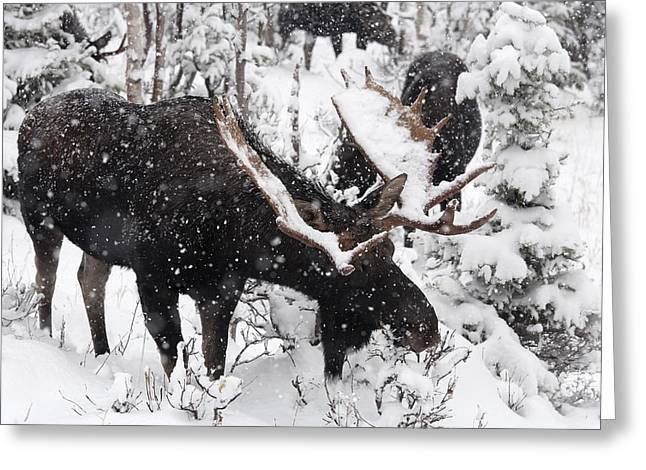 Male Moose Grazing In Snowy Forest Greeting Card by Philippe Henry