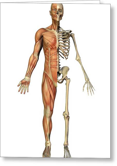 Conscious Greeting Cards - Male Muscles And Skeleton, Artwork Greeting Card by Friedrich Saurer