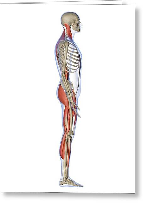 Part Of The Body Greeting Cards - Male Muscles, Artwork Greeting Card by Pasieka