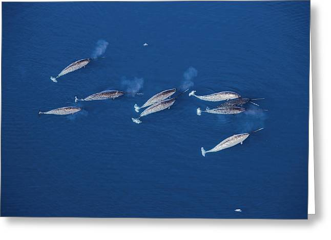 Narwhal Greeting Cards - Male Narwhals Migrate Through Lancaster Greeting Card by Paul Nicklen