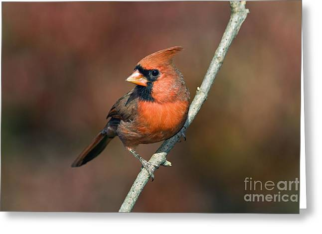 Male Northern Cardinal - D007813 Greeting Card by Daniel Dempster
