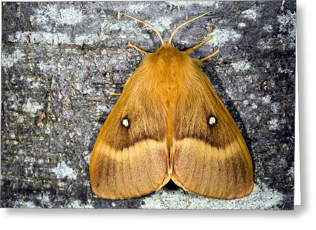 Deterrent Greeting Cards - Male Oak Eggar Moth Greeting Card by Dr Keith Wheeler