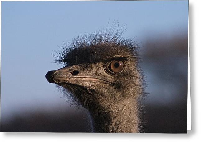 Ostrich Feathers Greeting Cards - Male Ostrich Namibia Greeting Card by David Kleinsasser