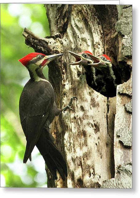 Hungry Chicks Greeting Cards - Male Pileated Woodpecker at nest Greeting Card by Mircea Costina Photography