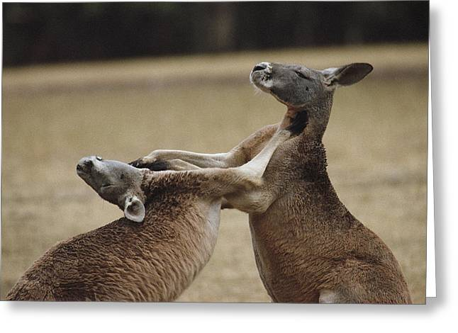 Aggression And Competition Greeting Cards - Male Red Kangaroos Sparring, Australia Greeting Card by Medford Taylor