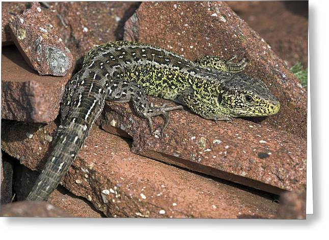 Predatory Animals Greeting Cards - Male Sand Lizard Greeting Card by Colin Varndell