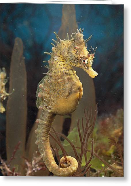 Sea Horse Greeting Cards - Male Sea Horse With Pouch Visible Greeting Card by George Grall