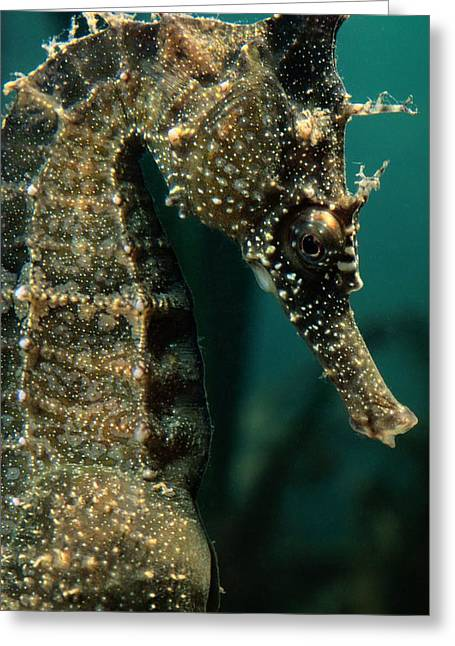 Sea Horse Greeting Cards - Male Seahorse Hippocampus Whitei Greeting Card by George Grall