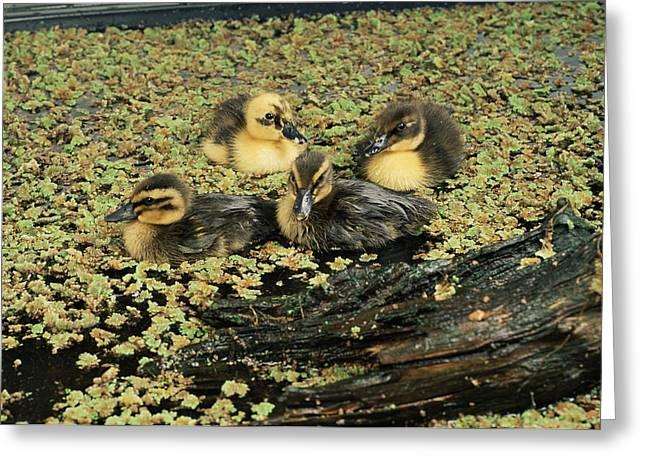 Ducklings Greeting Cards - Mallard Ducklings Greeting Card by David Aubrey